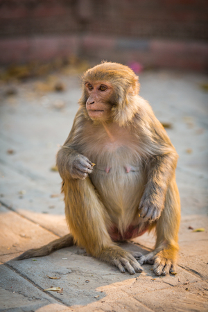 indian subcontinent ethnicity: Monkey in a temple in Kathmandu