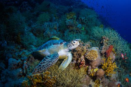 紅海のサンゴ礁にカメします。 写真素材