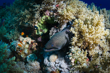 saltwater eel: Moray on coral reef