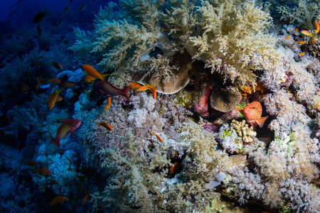 firefish: Red banded grouper on the reef of the Red Sea Stock Photo