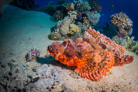Scorpaena on a coral reef in Dahab. Egypt.