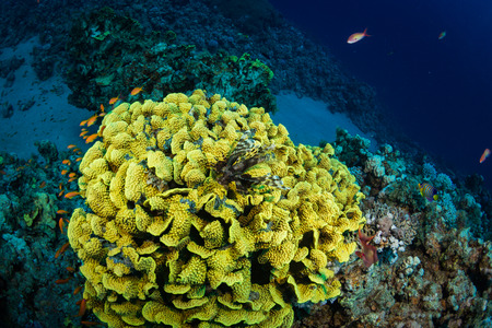 soldier fish: Lionfish on background of a coral reef Stock Photo