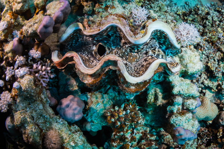 Tridacninae on the reef of the Red Sea Banque d'images