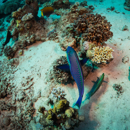 soldier fish: Parrotfish on background of a coral reef