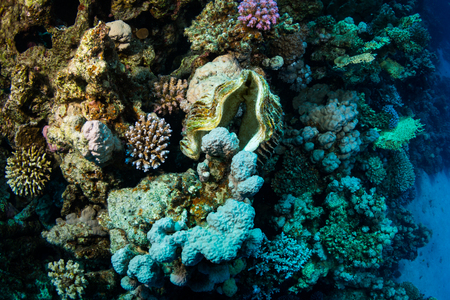 Dead tridacninae on the reef of the Red Sea Stock Photo