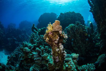 firefish: Beautiful coral garden in Red Sea