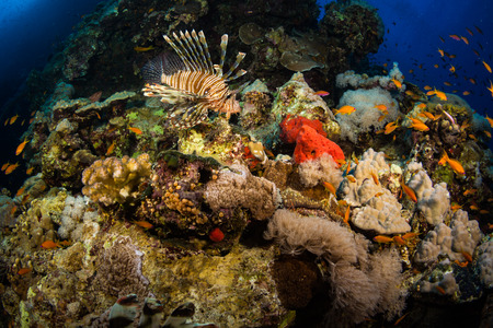 Lionfish on background of a coral reef Stock Photo