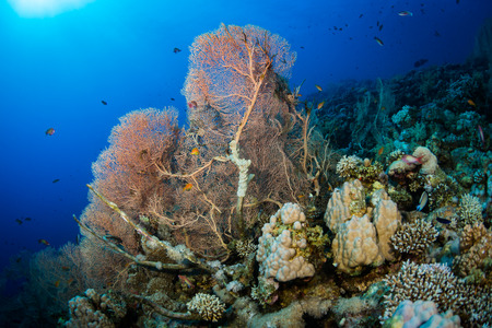 gorgonian: Gorgonian on a reef near the city of Dahab in the Red Sea