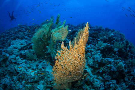 Gorgonian on a reef near the city of Dahab in the Red Sea