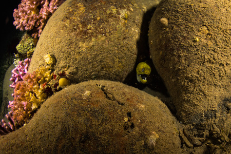 saltwater eel: Moray on coral reef at night