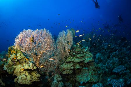 gorgonian sea fan: Gorgonian on a reef near the city of Dahab in the Red Sea