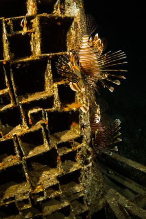 zebrafish: Lionfish on background of a coral reef Stock Photo
