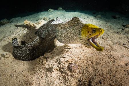 Moray op koraalrif 's nachts Stockfoto