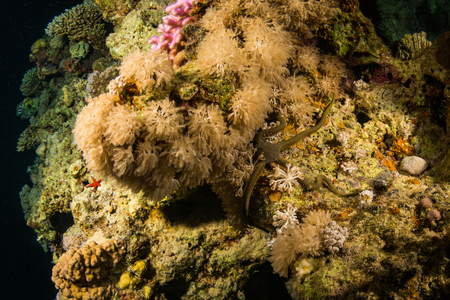 polyp corals: Starfish on the reef of the Red Sea