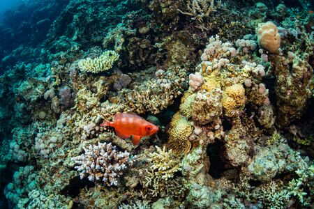 Squirrelfish on coral garden in Red Sea