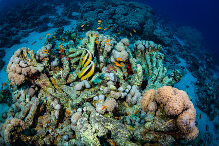 polyp corals: Two butterfly fishes on the coral reef