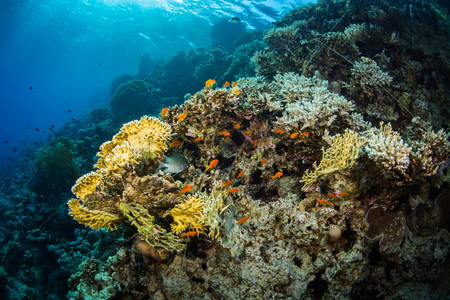 polyp corals: Tropical fishes on a beautiful coral garden in Red Sea