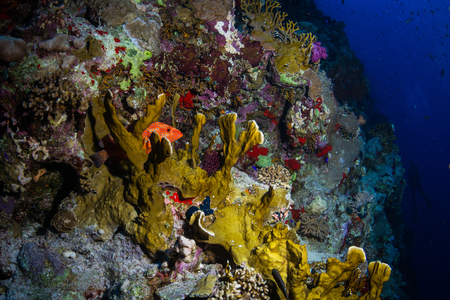 polyp corals: Red banded grouper on the reef of the Red Sea Stock Photo