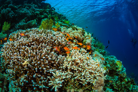 soldier fish: Tropical fish on background of a coral reef