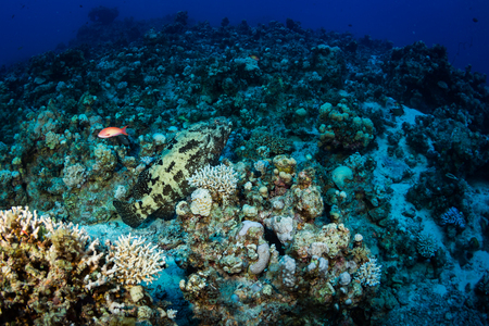 Big fish on a beautiful coral garden in Red Sea Stock Photo