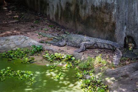 Crocodile on a crocodile farm on Koh Samui