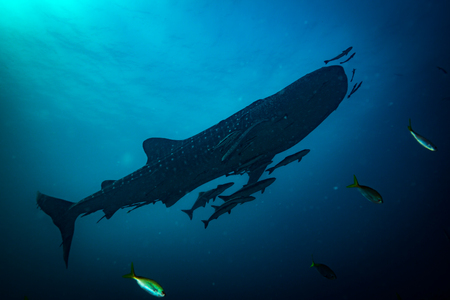 Whale shark near Koh Tao island Stock Photo