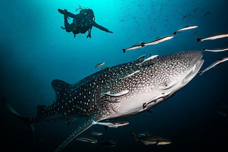 Whale shark near Koh Tao island Stock Photo