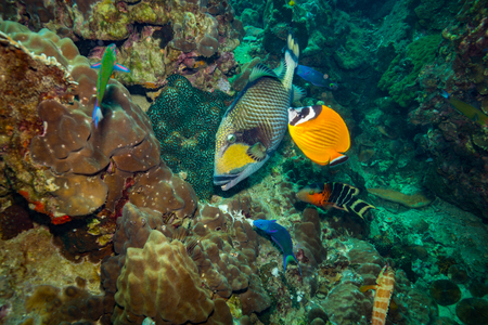 triggerfish: A big Triggerfish near island Koh Tao