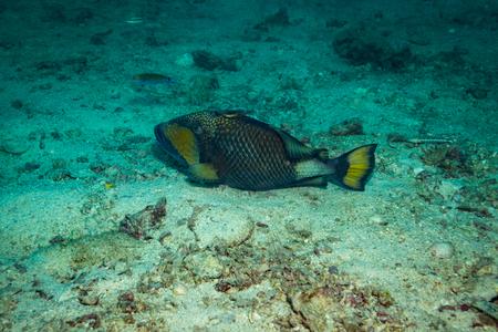 triggerfish: A big Triggerfish near island Koh Tao