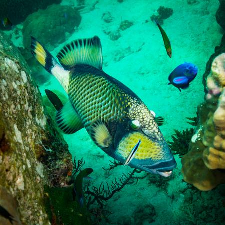 A big Triggerfish near island Koh Tao