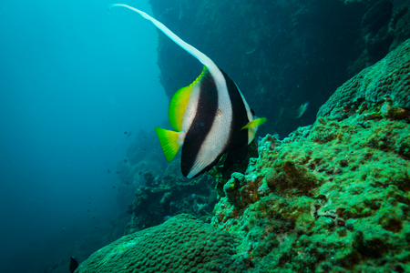 Butterflyfish on a reef near Kot Tao island Stock Photo