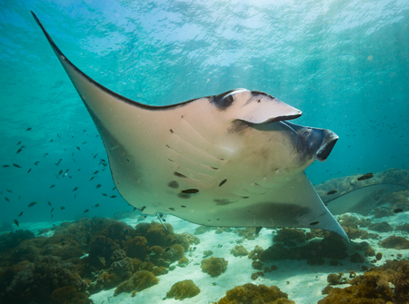 Manta ray on cleaning station in Komodo national park
