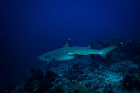 コモド国立公園でホワイト チップのサメ 写真素材