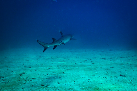 White tip shark in Komodo national park