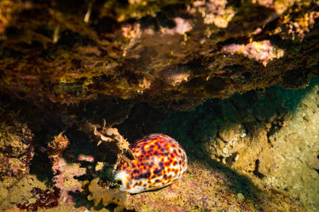 Shell on coral reef of Koh Tao