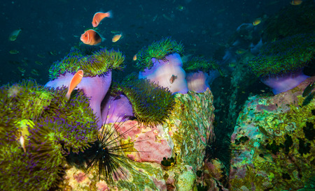 Anemone on coral reef of Koh Tao 版權商用圖片