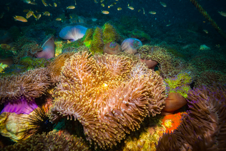 Anemone on coral reef of Koh Tao Stock Photo