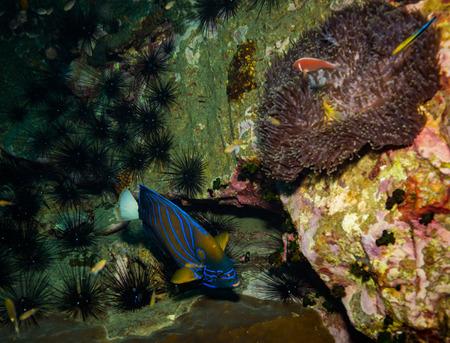 Butterflyfish on a reef near Kot Tao island Stock Photo