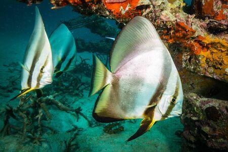 Batfish on coral reef of Koh Tao