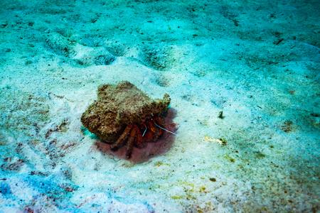 Crab near Koh Tao island
