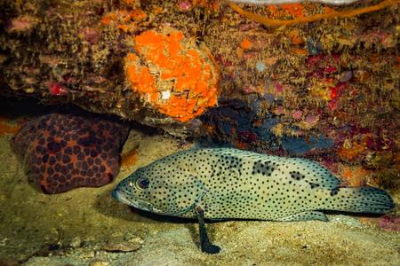 Malabar grouper near Koh Tao island