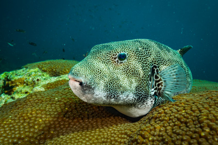 Puffer on the reef of Koh Tao Stock Photo