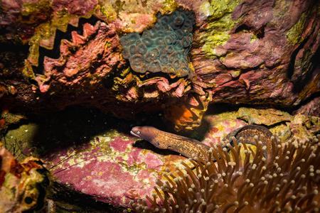 Moray on a coral reef near Koh Tao island