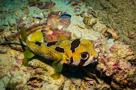 Puffer on the reaf of Koh Tao