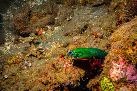 Mantis shrimp on coral reef in Bali island Stock Photo