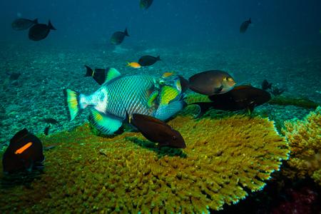 Trigger fish in Komodo reef