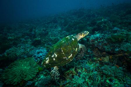 Turtle in Komodo national park