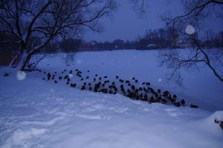 Saint-Petersburg, Peterhof, winter, and ducks do not fly away  The pond is frozen and they winter in the snow