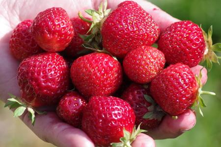 Fresh strawberries from the garden.