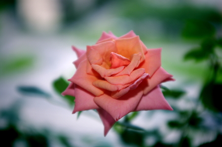 Rose, flowers